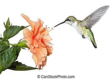 hibiscus, colibri