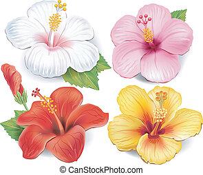 hibiscus, ensemble