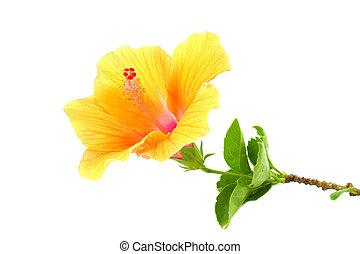 hibiscus, fleur, chinois, sinensis.), (hibiscus, rosa, rose, arrière-plan., orange, blanc