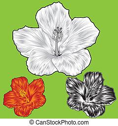 hibiscus, fleur, fleur, variations