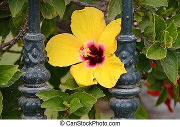 hibiscus, fleur, jaune