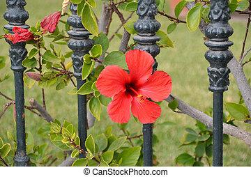 hibiscus, fleur, rouges