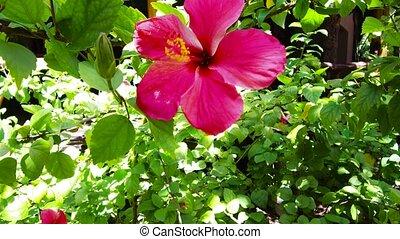 hibiscus flower at garden in french polynesia - gardening,...