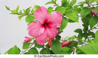 hibiscus flower close up