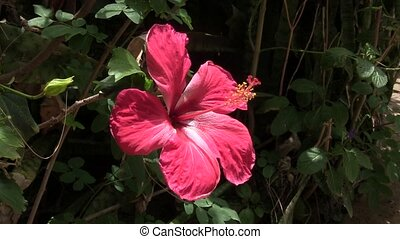 Hibiscus flower in a light breeze.