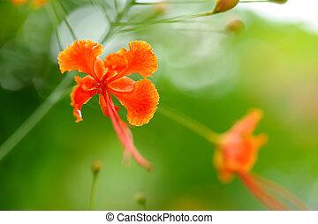 Hibiscus flower in a Sri Lankan Garden