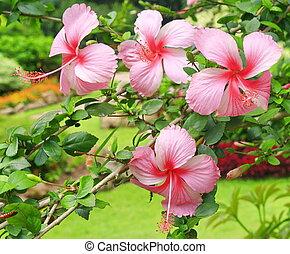 Hibiscus flower in garden