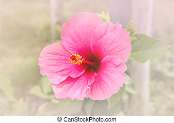 Hibiscus flower in the garden. Detail of the stamen and pistil