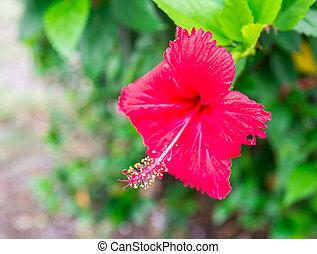 Hibiscus flower in the garden.