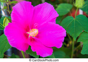 hibiscus flower in the green garden