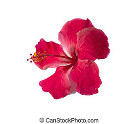 Hibiscus flower isolated?  on? white? background.