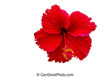 Hibiscus flower on a white background