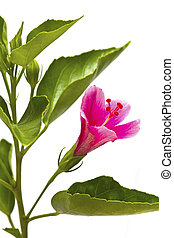 Hibiscus flower with green leaves isolated on white background.