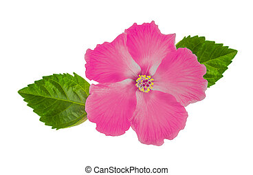 Hibiscus flower with leaf isolated on white background