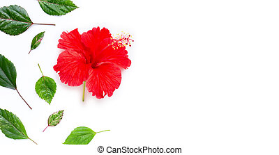 Hibiscus flower with leaves on white background.
