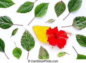 Hibiscus flower with leaves on white background. Copy space