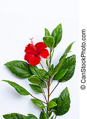 Hibiscus flower with leaves on white