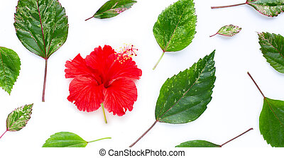 Hibiscus flower with leaves on white.