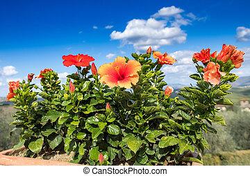hibiscus, flowering plant, graden