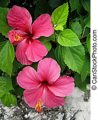 Closeup of two hibiscus flowers