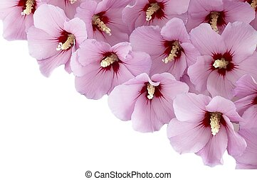 hibiscus flowers on a white background