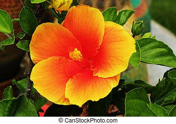 Hibiscus flowers - orange flower in the nature