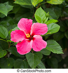 Hibiscus flowersto create beautiful for natural.