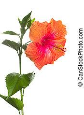 hibiscus, fond, isolé, fleur blanche