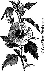 hibiscus, gravure, althea, struik, ouderwetse , (hibiscus,...