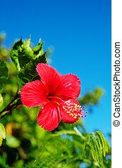 Hibiscus-Hibiscus sp. - Hibiscus. This image was taken in...
