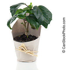 Hibiscus houseplant in paper packaging