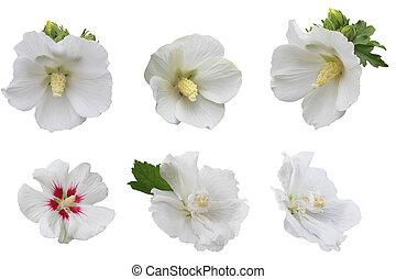hibiscus, hvid, samling