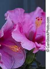 hibiscus in the garden