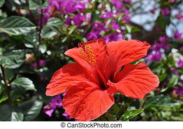 hibiscus, in, tropische , milieu