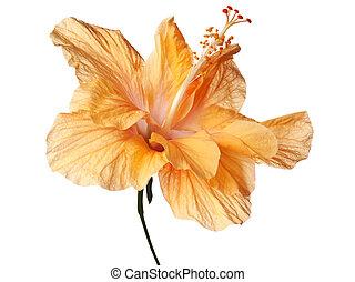 hibiscus, isolé