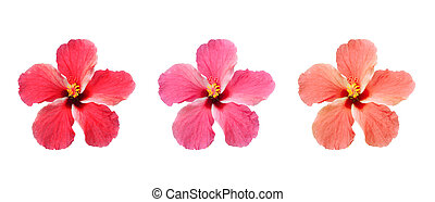 Hibiscus isolated on white background.