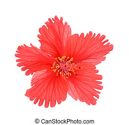 hibiscus isolated on white background
