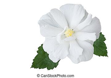 Hibiscus - Multi petals hibiscus flower isolated on white