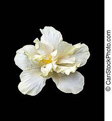 hibiscus, noir, grand, fleur blanche