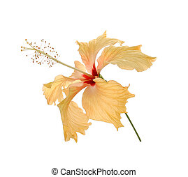 Hibiscus on a white background.