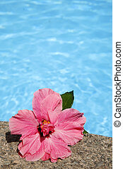 hibiscus, piscine
