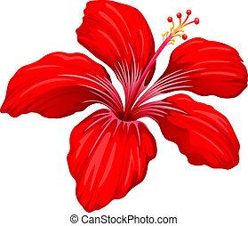 hibiscus, plante, rød