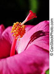 Hibiscus rosa-sinensis - closeup detail of a Hibiscus