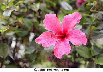hibiscus, rose, -