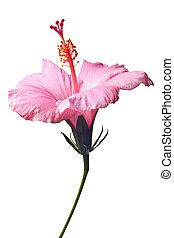 hibiscus, rose, isolé