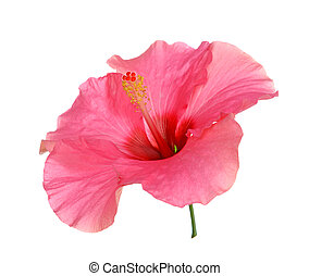 hibiscus, rouges