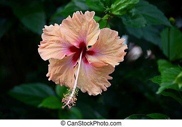 hibiscus, sanguine, fleur, rouges, pêche