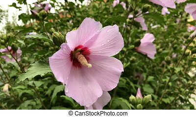Hibiscus syriacus flowers - Close-up of beautiful hibiscus...