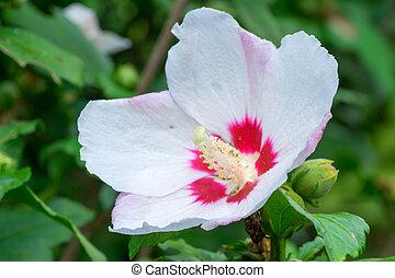 Hibiscus syriacus, Malvaceae, China