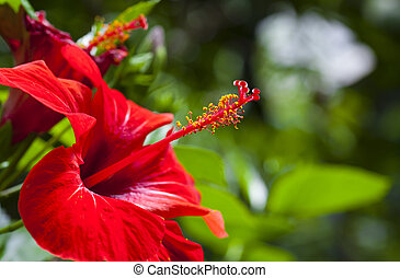Hibiscus - The leaves are alternate, ovate to lanceolate, ...